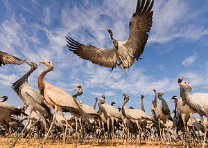 Demoiselle crane (Anthropoides virgo) low angle view of birds flying and landing near the chugga ghar (bird feeding enclosure ) in Khichan Village, durin their annual migration. Western Rajasthan, Ind...  -  Yashpal Rathore