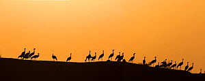 Demoiselle cranes (Anthropoides virgo) silhouetted at dusk, perched on wall during winter migration. Khichan, Western Rajasthan, India. February 2016. Digitally stitched panorama. - Yashpal Rathore