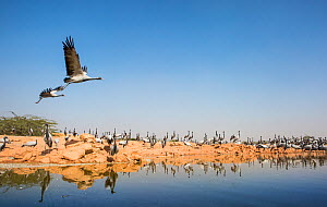 Demoiselle crane (Anthropoides virgo) pair flying over water whilst others rest during winter migration, Western Rajasthan, India. December. - Yashpal Rathore