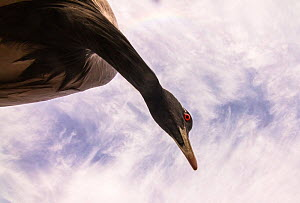 Demoiselle crane (Anthropoides virgo) low angle view with cloudy sky, Khichan, Western Rajasthan, India. December. - Yashpal Rathore