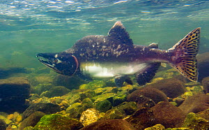 Humpback salmon (Oncorhynchus gorbuscha) male that has contracted the onset of gray mold / grey mould, making its way upstream in Walker Cove Creek, Misty Fjord National Monument, Alaska, USA,  August...  -  Charlie  Summers