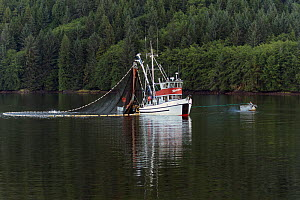 Purse seiner fishing boat reeling in its net and catch, Passage of Alaska, USA, July. - Charlie  Summers
