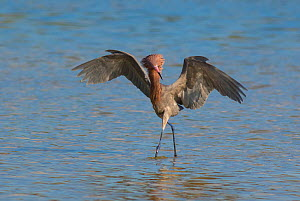 Reddish Egret (Egretta rufescens) dark morph, breeding plumage, with outspread wings, chasing fish, Fort De Soto Park, Florida, USA  -  Marie  Read