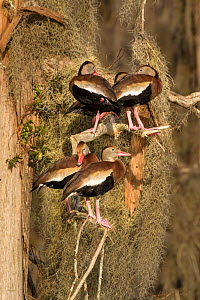 Black-bellied whistling-ducks (Dendrocygna autumnalis), group perched amid Spanish moss on bald cypress tree, Lakeland, Florida, USA, January.  -  Marie  Read