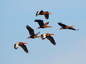 Black-bellied whistling ducks (Dendrocygna autumnalis) flock of six in flight, Venice, Florida, USA, March.  -  Marie  Read