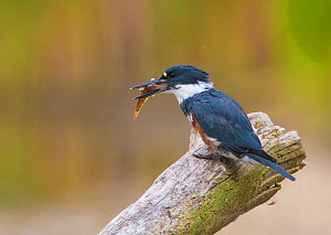 Belted Kingfisher (Ceryle alcyon) female with a fish (Round Goby), Lansing, New York, USA  -  Marie  Read