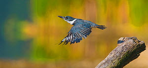 Belted kingfisher (Ceryle alcyon) female taking flight from perch, Lansing, New York, USA. Digital composite.  -  Marie  Read