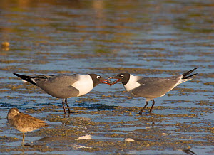 Laughing Gulls (Larus atricilla), courting pair, one offers fish to its mate, Fort De Soto Park, Florida, USA  -  Marie  Read