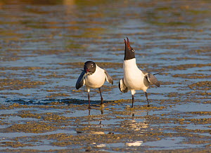 Laughing Gulls (Larus atricilla), courting pair, one on right is begging for the fish its mate is carrying, Fort De Soto Park, Florida, USA, March.  -  Marie  Read