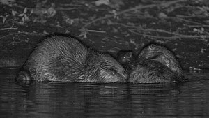 Pair of Eurasian beavers (Castor fiber) grooming, with kits playing nearby, Devon, England, UK, July. Part of Devon Wildlife Trust's Devon Beaver Trial.  -  Nick Upton