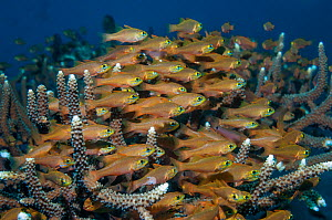 RF - Shoal of Yelowlined cardinalfish (Apogon chrysotaenia). West Papua, Indonesia. (This image may be licensed either as rights managed or royalty free.)  -  Georgette Douwma