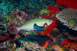 Doublelined fusilier (Pterocaesio digramma) with two Cleaner wrasses (Lutjanus dimidiata) inside its gill, West Papua, Indonesia. - Georgette Douwma