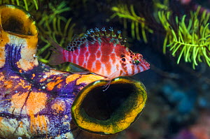 RF - Spotted hawkfish (Cirrhitichthys aprinus) perched on Gold mouth sea squirt (Polycarpa aurata). West Papua, Indonesia. (This image may be licensed either as rights managed or royalty free.)  -  Georgette Douwma