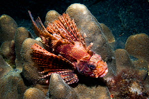 RF - Shortfin lionfish (Dendrochirus brachypterus) perched on coral. Lembeh Strait, Sulawesi, Indonesia. (This image may be licensed either as rights managed or royalty free.)  -  Georgette Douwma