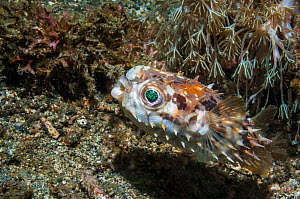 Freckled / Spiny porcupinefish (Diodon holocanthus)  Lembeh, Sulawesi, Indonesia.  -  Georgette Douwma