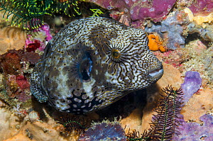 RF - Mappa puffer (Arothron mappa) juvenile.  West Papua, Indonesia. (This image may be licensed either as rights managed or royalty free.) - Georgette Douwma