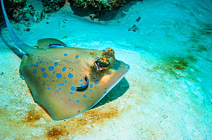 RF - Bluespotted ribbontail ray (Taeniura lymma) with Cleaner wrasses (Lutjanus dimidiatus). Similan Islands, Andaman Sea, Thailand. (This image may be licensed either as rights managed or royalty fre... - Georgette Douwma