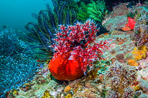 Sea apple (Pseudocolochirus violaceus) on coral reef.  It feeds by filtering the water column with its tentacular crown, successively bringing each arm into its mouth to deliver food particles.  Komod... - Georgette Douwma