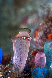 Blue club sea squirt (Rhopalaea crassa) with a small Goby, unknown species.  West Papua, Indonesia. - Georgette Douwma