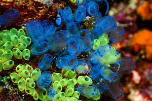 Blue sea squirts or tunicates (Clavelina moluccensis)  West Papua, Indonesia. - Georgette Douwma