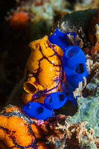 RF - Sea sqirts or tunicates (Rhopalaea) and Golden sea squirt (Polycarpa aurata).  Raja Ampat, West Papua, Indonesia. (This image may be licensed either as rights managed or royalty free.) - Georgette Douwma