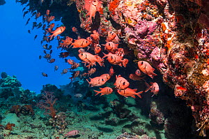RF - School of Red soldierfish (Myripristis murdjan). Egypt, Red Sea. (This image may be licensed either as rights managed or royalty free.)  -  Georgette Douwma