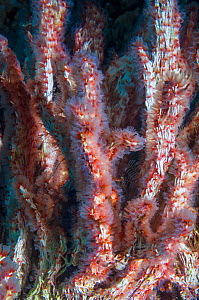 Coral worms (Filograna implexa / Serpulidae).  A colonial species of worm that builds irregular masses of calcareous tube.  West Papua, Indonesia.  -  Georgette Douwma