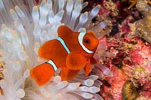 Spinecheek anemonefish (Premnas biaculeatus) male with bleached anemone, Bunaken National Park, North Sulawesi, Indonesia  -  Georgette Douwma