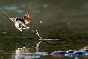 Sand martin (Riparia riparia) taking swan feather from surface of River Wy to line its nest located nearby, Herefordshire, UK, May. - John Waters