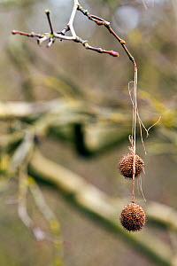Seed balls of the London Plane tree (Platanus spp.) hanging from leafless twigs near Bristol, UK, March. - John Waters