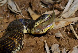 Bocourt's mud snake (Subsessor bocourti) feeding on fish, captive, occurs in South East Asia.  -  Daniel  Heuclin