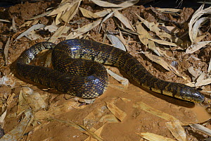 Bocourt's mud snake (Subsessor bocourti) captive, occurs in South East Asia.  -  Daniel  Heuclin