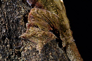 Kuhl's flying gecko (Ptychozoon kuhli) captive, occurs in South East Asia.  -  Daniel  Heuclin