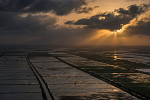 Aerial view of rice production at sunset, east coastal area of Guyana, South America  -  Pete Oxford