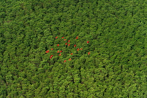 Scarlet Ibis (Eudocimus ruber) flock at Shell beach, North Guyana, South America - Pete Oxford