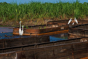 Sugarcane barges (punts) with various Egrets, Wales, Georgetown, Guyana, South America - Pete Oxford