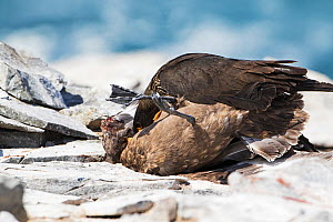 Striated caracara (Phalcoboenus australis) killing a Falkland skua (Catharacta antarctica) on a beach. Sea Lion Island. Falkland Islands. November.  -  Mike Read