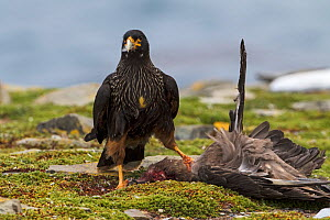 Striated caracara (Phalcoboenus australis) with recently killed Falkland skua (Catharacta antarctica) Sea Lion Island, Falkland Islands. November.  -  Mike Read