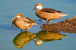 White-cheeked pintail (Anas bahamensis) two resting by water, La Pampa, Argentina  -  Gabriel Rojo