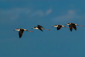 Black-necked stilt (Himantopus melanurus) flock of four in flight, La Pampa Argentina  -  Gabriel Rojo