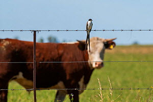 Fork-tailed flycatcher (Tyrannus savana) sitting on wire fence in front of Domestic cow, La Pampa, Argentina  -  Gabriel Rojo