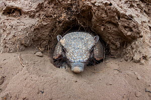 Large hairy armadillo (Chaetophractus villosus) coming out of its burrow, La Pampa, Argentina  -  Gabriel Rojo