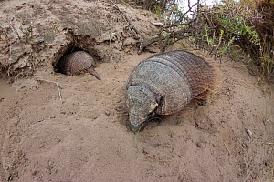 Large hairy armadillo (Chaetophractus villosus) with  one going into its  burrow, La Pampa, Argentina  -  Gabriel Rojo