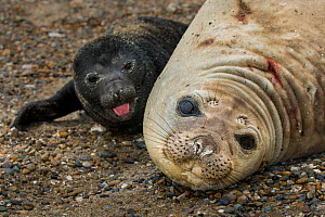 South Atlantic elephant seal (Mirounga leonina) pup resting with mother on beach, Peninsula Valdes, Chubut, Patagonia, Argentina - Gabriel Rojo
