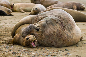 South Atlantic elephant seal (Mirounga leonina) male mating with female, Peninsula Valdes, Chubut, Patagonia, Argentina - Gabriel Rojo