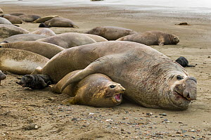 South Atlantic elephant seal (Mirounga leonina) male mating with female with young and vulnerable pup nearby, Peninsula Valdes, Chubut, Patagonia, Argentina  -  Gabriel Rojo
