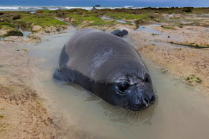 South Atlantic elephant seal (Mirounga leonina) pup resting in tidepool on beach, Peninsula Valdes, Chubut, Patagonia, Argentina - Gabriel Rojo