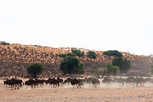 Common / blue wildebeest (Connochaetes taurinus) herd trekking to water in the Kalahari, Kgalagadi Transfrontier Park, Northern Cape, South Africa - Ann  & Steve Toon