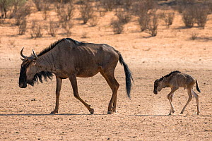 RF - Common blue wildebeest (gnu) (Connochaetes taurinus) mother and baby, Kgalagadi Transfrontier Park, Northern Cape, South Africa, January 2016. (This image may be licensed either as rights managed... - Ann  & Steve Toon