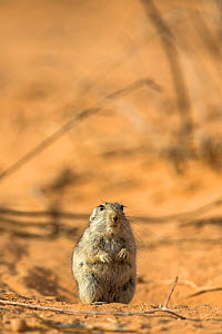 RF - Brant's whistling rat (Parotomys brantsii) in the Kalahari, Kgalagadi Transfrontier Park, Northern Cape, South Africa, January. (This image may be licensed either as rights managed or royalty fre... - Ann  & Steve Toon